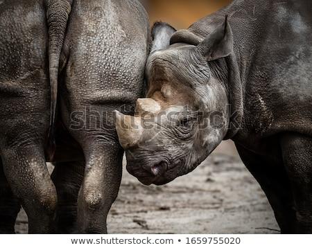 fekete · orrszarvú · ritka · veszélyeztetett · fajok · Afrika · veszélyeztetett - stock fotó © dirkr