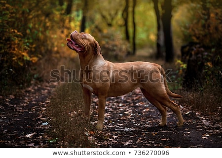 Dogue de Bordeaux (French mastiff) Stock photo © eriklam
