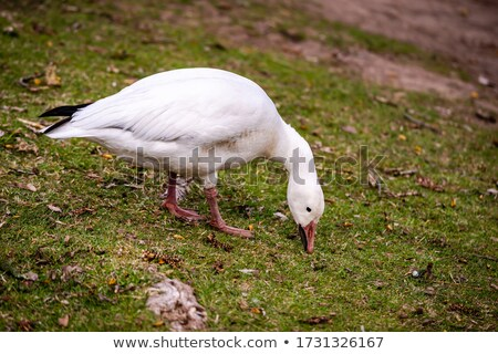 mooie · gans · permanente · water - stockfoto © chrisga