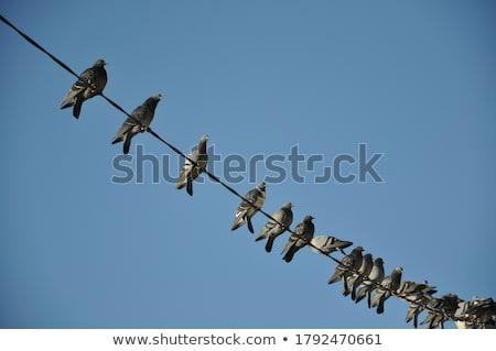 Stock fotó: Flock Of Pigeons On Power Wires