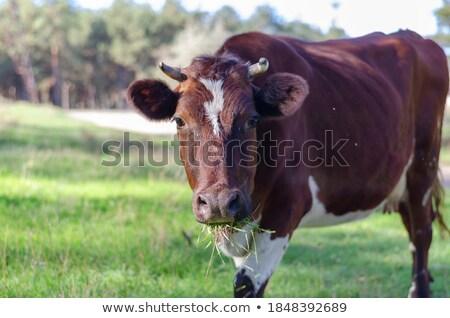 single cow feeding on the lush grass Stock photo © morrbyte