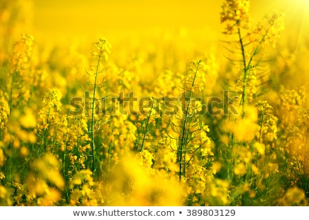 blooming canola on the field close up stock photo © pixelman