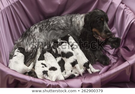 english cocker spaniel puppies nursing stock photo © silense