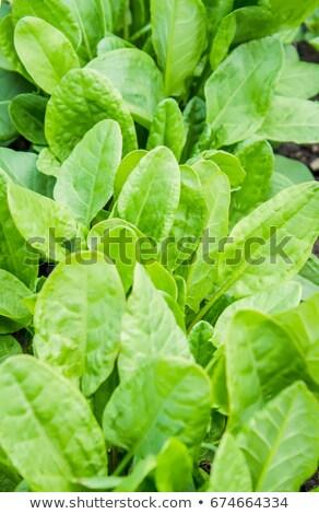 wet sorrel leaves stock photo © saharosa