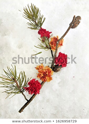 two carnation flower on snow close up stock photo © traza