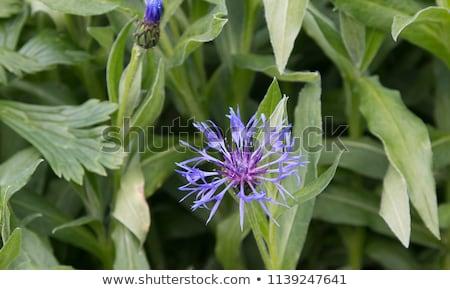 Montana centaurea cornflower Stock photo © hraska