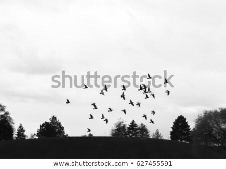 aves · voador · céu · Nova · Zelândia · natureza - foto stock © mikdam