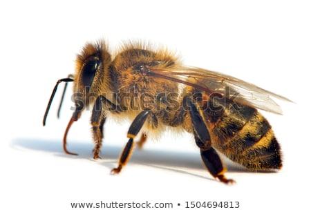 Honeybee (Apis mellifera) pollinated yellow flower. Stock photo © hamik