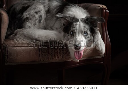Stock photo: border collie with blue eyes sitting in the dark background
