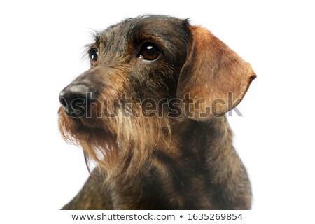Stock photo: wired hair dachshund portrait a in studio
