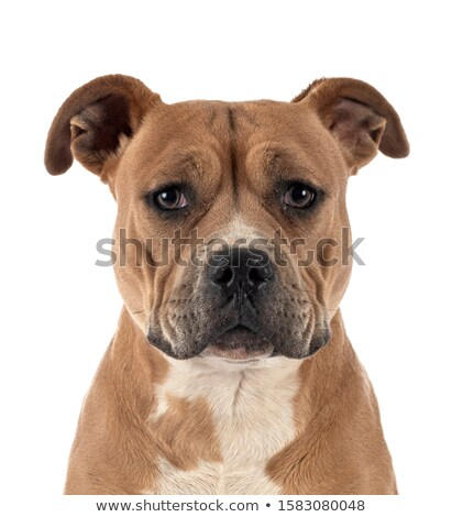 Stock photo: Puppy Staffordshire Bull Terrier in a white studio