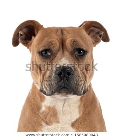 щенков · бык · терьер · белый · студию · собака - Сток-фото © vauvau