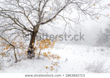 黄色 オーク 葉 冬 霜 葉 ストックフォト © justinb