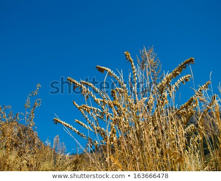 Giant Foxtail weeds against a blue sky Stock photo © njnightsky