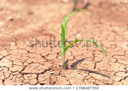 Drought in cultivated corn maize crop field Stock photo © stevanovicigor