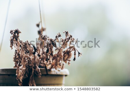 Dying Flowers Drooping Closeup Stock photo © saje