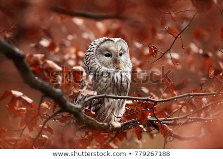 coruja · sessão · floresta · ramo · ensolarado · cara - foto stock © FOTOYOU