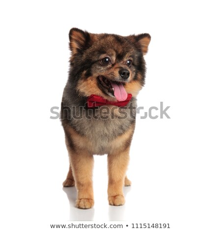 elegant panting pom stands and looks down to side Stock photo © feedough