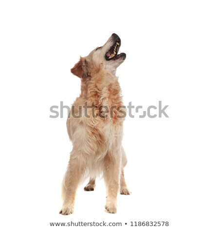 excited labrador barking while looking up to side Stock photo © feedough
