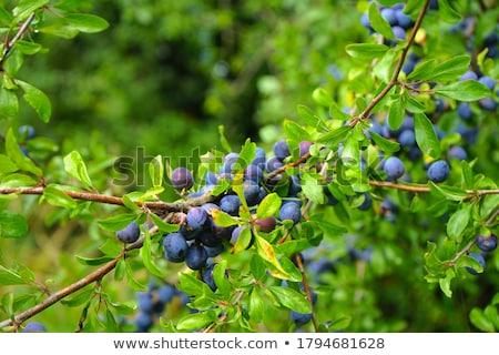 Prunus spinosa or Blackthorn Stock photo © bdspn