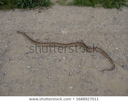 Adult Pacific Gopher Snake (Pituophis catenifer catenifer) crawling. Stock photo © yhelfman