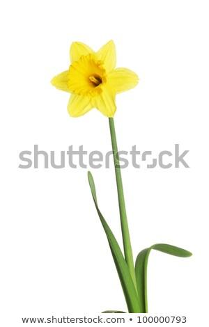 Bloem narcis witte bloem vaas witte Pasen Stockfoto © bdspn