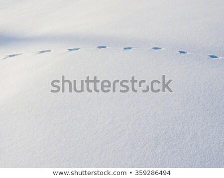 オオヤマネコ トレース 雪 テクスチャ 自然 ストックフォト © taviphoto