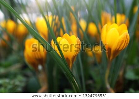 Low profile of yellow crocus flowers Stock photo © sarahdoow