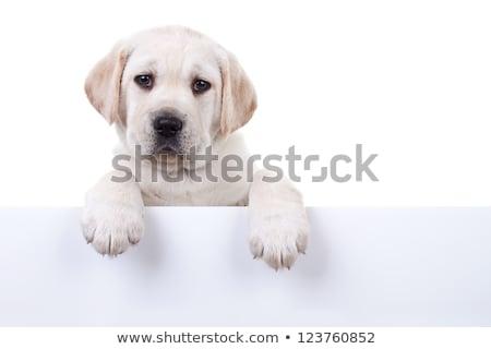 labrador puppy dog paw   close up stock photo © ilona75