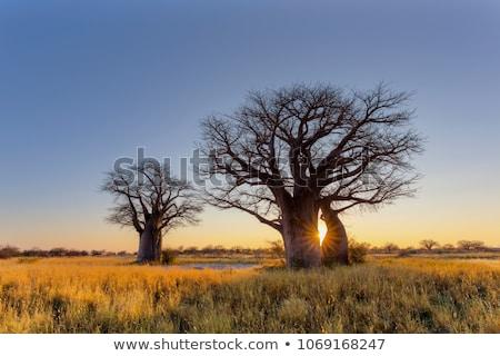 Baobab tree Stock photo © Elenarts