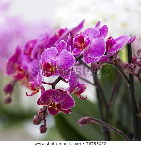 Orchid flower in Keukenhof park Stock photo © Arsgera