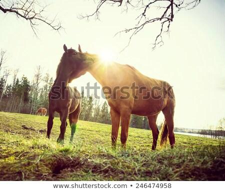 cavalos · verde · amarelo · primavera · prado · Valência - foto stock © justinb