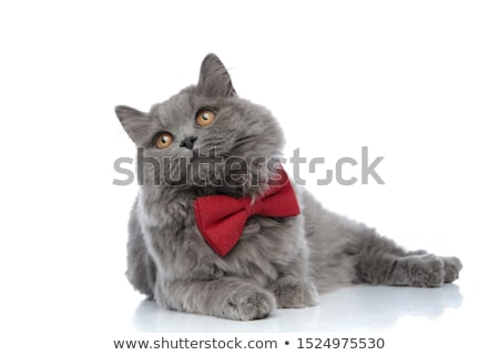 Gato doméstico mentiras olhando isolado cinza gato Foto stock © samsem