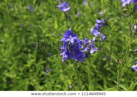 Hungarian speedwell (Veronica austriaca) Stock photo © Stocksnapper