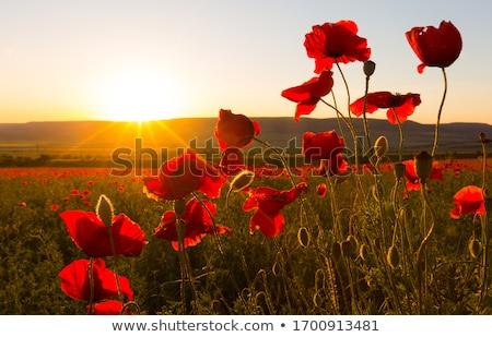 vermelho · papoula · flor · topo · qualidade · foto - foto stock © elenaphoto