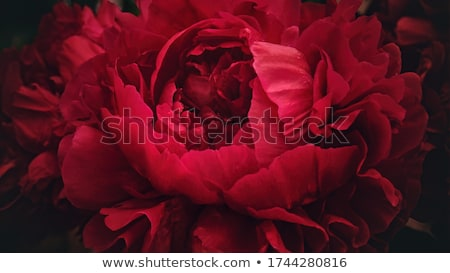 Red Peony Stock photo © hraska