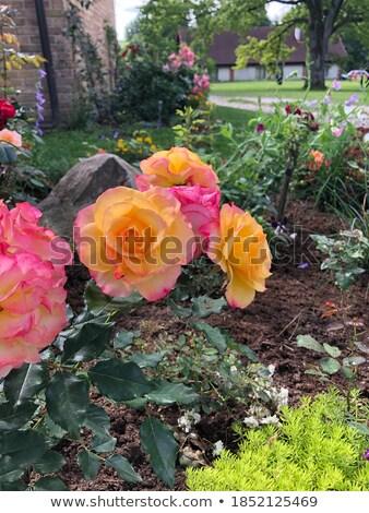 Rose jardin belle coloré fleur printemps Photo stock © emese73