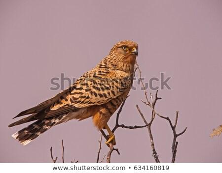 Greater Kestrel (Falco rupicoloides) Stock photo © dirkr