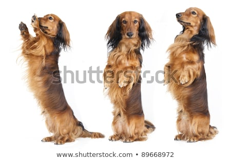 Cute little dog begging for treats Stock photo © fantasticrabbit