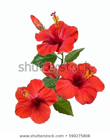 гибискуса · цветок · красивой · красный · цветы · весны - Сток-фото © juniart