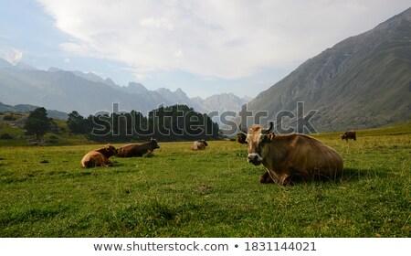 Idyllic view at a pastureland with grazing cows stock photo © olandsfokus