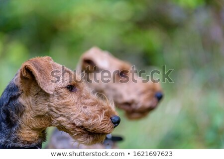 Portrait terrier jardin usine parc animaux de compagnie Photo stock © CaptureLight