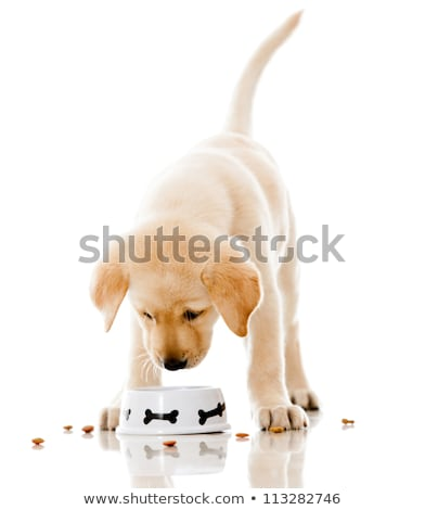 Stock photo: Labrador Puppy Eating
