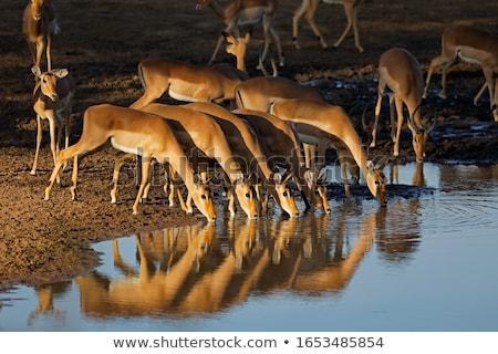 Impala at waterhole Stock photo © romitasromala