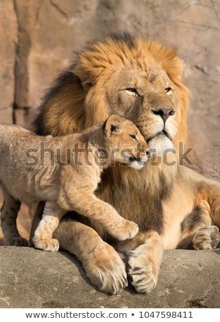 Stok fotoğraf: Sevimli · aslan · dünya · geri · park
