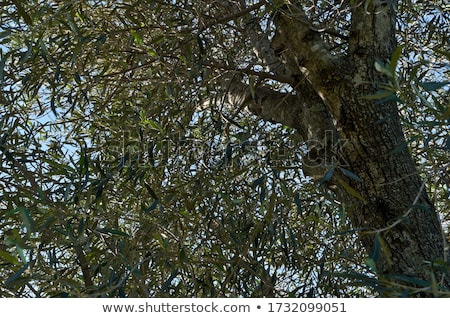 olijfolie · vintage · fles · groene · olijven · zwarte - stockfoto © janpietruszka