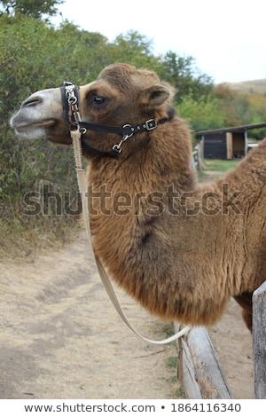 Deve poz kamera hayvanat bahçesi gülümseme göz Stok fotoğraf © epstock