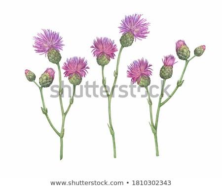 uzdrowienie · kwiaty · zioła · wzrosła · lawendy · herb - zdjęcia stock © nikolaydonetsk