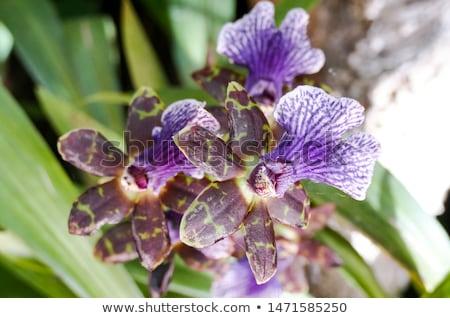 branco · roxo · orquídea · primavera - foto stock © meinzahn