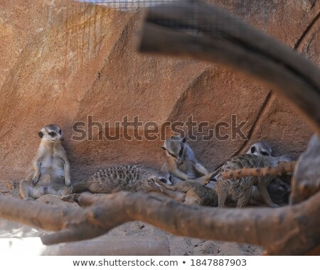Meerkat with long tail Stock photo © bluering